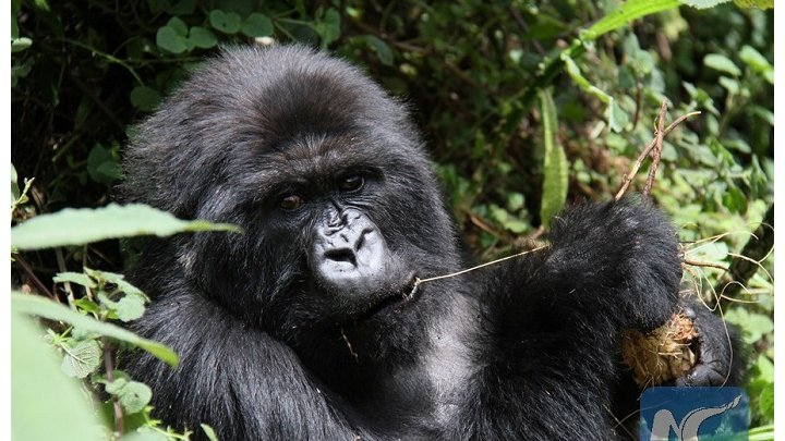 Rwanda Development board Receives land donation from Africa wildlife foundation increasing mountain gorilla habitat in volcanoes national park